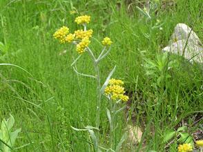 Photo: ハハコグサ(キク科)。 2007.05.31 夏焼城ケ山にて。 春の七草の一つ、御形(ゴギョウ)はこの花です。