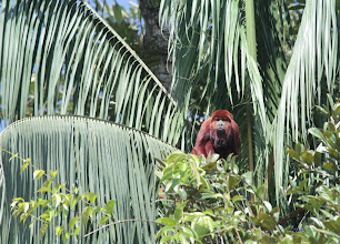 Photo: Red Howler Monkey