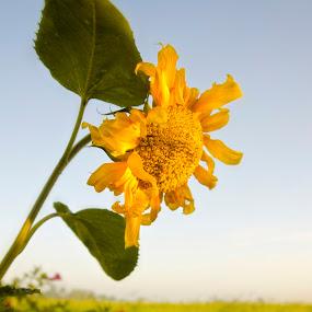 Sun Bright by Encik Gelap Gulita - Nature Up Close Flowers - 2011-2013 ( sunflower, flower )
