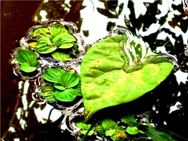 Green heart di mosquita79