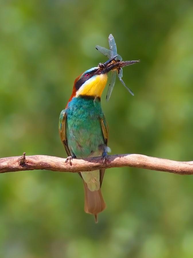 bee eater by Tibor Litauszki - Animals Birds ( bee eater )