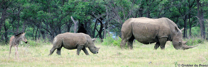 Photo: A Zebra calf and a White Rhino Mom and calf, Marakele National Park, South Africa.