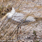 Black-headed Gull; Gaviota Reidora
