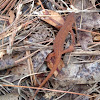 Red-spotted Newt/Red Eft