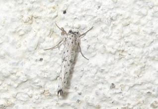 Photo: Yponomeuta plumbella   PGE  Lepidoptera > Yponomeutidae