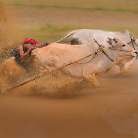 Ricing on the mud by MemenSaputra Mms - Sports & Fitness Other Sports ( ricing, cows race, rancak, sumbar, tanah data, race, cows, sungai tarab, memensaputra mms, ranah minang, pacu jawi, pasisia salatan, minang )