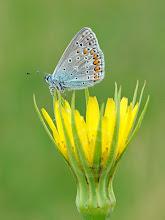 Photo: Polyommatus icarus, Azuré commun, Common Blue  http://lepidoptera-butterflies.blogspot.com/