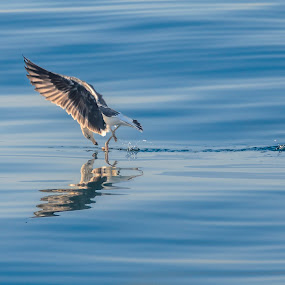 Seagull reflection by Arend Van der Walt - Animals Birds ( reflection, blue smooth, seagull, splash, feed )
