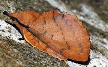 """Photo: """"la feuille morte du chêne"""" (nocturne) - Gastropacha quercifolia -  La perfection dans le mimétisme, même le pédoncule est représenté ! Mimétisme hypertélien."""