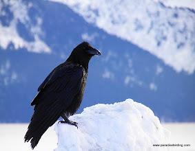Photo: Common Raven at the harbor in Seward