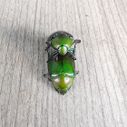 Green Leaf Chafer Beetle