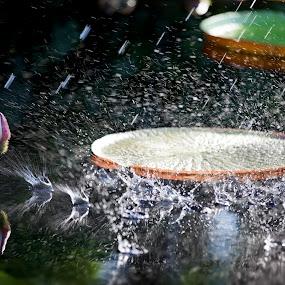 Water Lily Splash  by John CHIMON - Nature Up Close Flowers - 2011-2013 ( water, reflection, splash, reflections, gardens, botanic, leaf, droplets, splashing, lily, drops, flowers, light, pond, garden, flower )