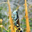 Canyon Grasshopper
