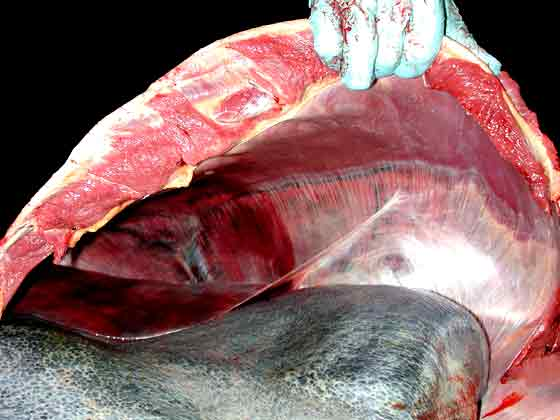 View of the diaphragm from the left side of the abdomen. The spleen and a lobe of the liver are evident in the foreground. The diaphragm is domed cranially.