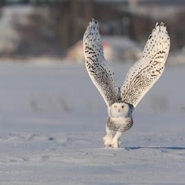 Harfang des neiges by Line Arseneault - Animals Birds ( owl, bird )