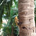 Oriental Garden Lizard (ஓணான்)