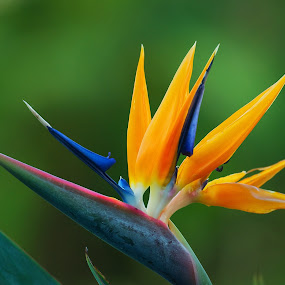 Spreading It's Wings by James Bokovoy - Nature Up Close Flowers - 2011-2013 ( aloha, kauai, bird of paradise flower, blooms, travel, garden, hawaii, flower )