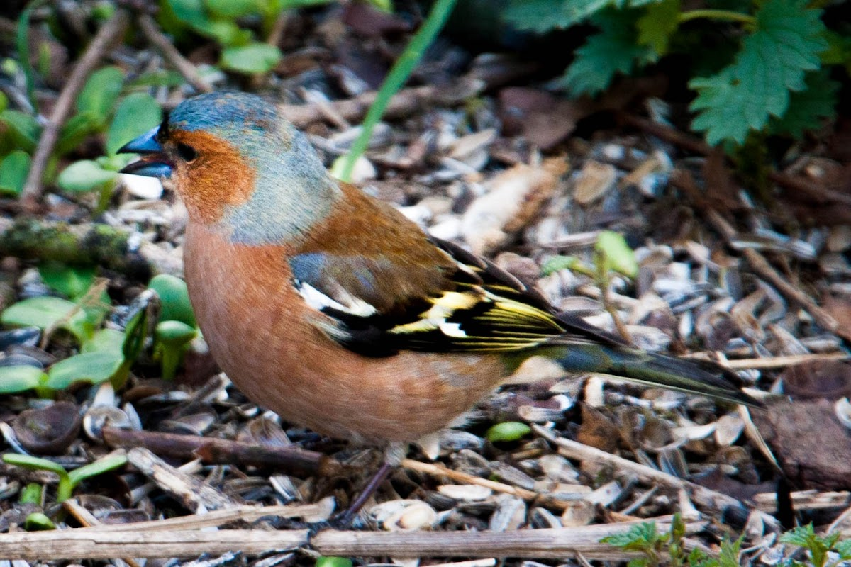 Common chaffinch (male and female))