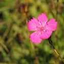 Carthusian Pink