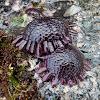 Shingle Urchin