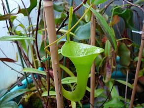 Photo: Nepenthes inermis