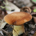 Rooting Polypore