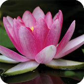 Plant Lotus Live Wallpaper