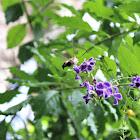 Coffee Bee Hawkmoth