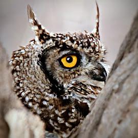 Spotted Eagle Owl by Pieter J de Villiers - Animals Birds