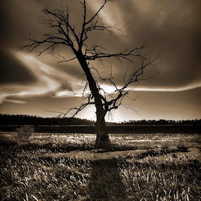 Standing Tall by AJ Schroetlin - Landscapes Prairies, Meadows & Fields ( sepia, tree, shadow, cloud, aj schroetlin, sunlight, light )