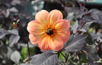 Photo: Dahlia 'Mystic Haze' RHS gardens Wisley