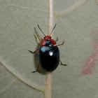 Watercress beetle