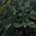 Dwarf Voodoo Lily
