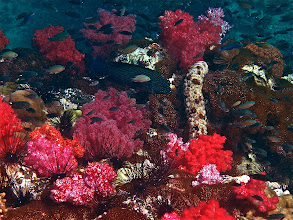 Photo: soft coral, blue-lined rockcod, sea cucumber and a school of chromis
