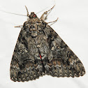 Tearful Underwing Moth