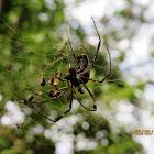 Gold web spider