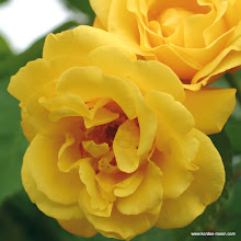 Photo: Kletterrose Golden Gate®, Züchter: W. Kordes' Söhne 2005
