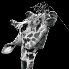 by Judy Rosanno - Black & White Animals ( spring, march 2018, san antonio zoo )