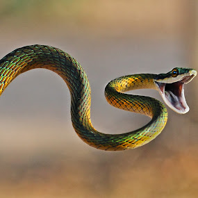 Parrot snake.jpg