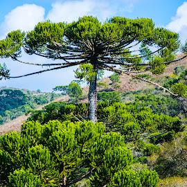 Araucaria tree, Campos do Jordão, SP, Brazil by Rogerio Ribas - Landscapes Forests