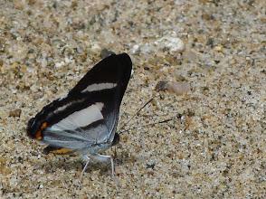 Photo: BROWN-AND-WHITE (ALECTRYO) RAYMARK--siseme alectryo--RIO ALPAYACU