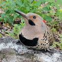 Yellow-shafted Northern Flicker (Male)