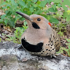 Yellow-shafted Northerm Flicker (Male)