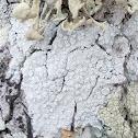 White rim lichen