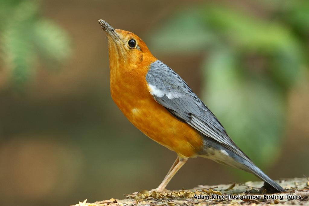 Orange-headed Thrush