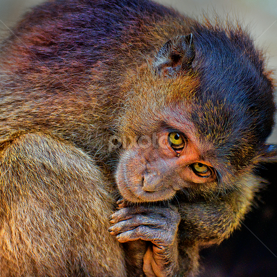 by Charliemagne Unggay - Animals Other Mammals ( , animal, monkey )