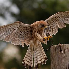 Kestrel landing  by Tracy Morris - Animals Birds (  )