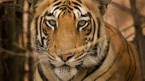 Tiger Jungles thumbnail