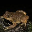 Castle Rock Night Frog