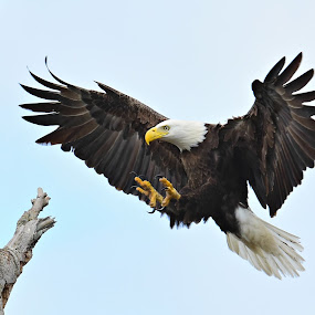 Flying Eagle by Ruth Overmyer - Animals Birds (  )